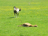 Photo of horse lying in field of grass, drown horse, brown and white horse